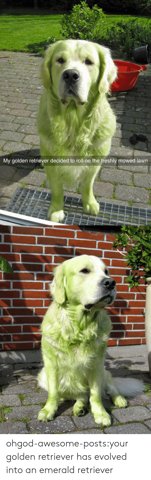 Golden Retriever: My golden retriever decided to roll on the freshly mowed lawn ohgod-awesome-posts:your golden retriever has evolved into an emerald retriever