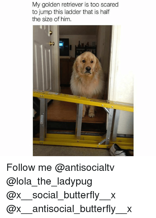 Memes, Butterfly, and Golden Retriever: My golden retriever is too scared  to jump this ladder that is half  the size of him. Follow me @antisocialtv @lola_the_ladypug @x__social_butterfly__x @x__antisocial_butterfly__x