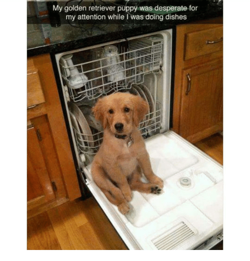 Desperate, Memes, and Golden Retriever: My golden retriever puppy was desperate for  my attention while I was doing dishes
