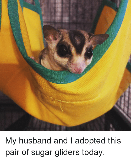 Dirty, Happy, and Home: My husband and I adopted this pair of sugar gliders today.