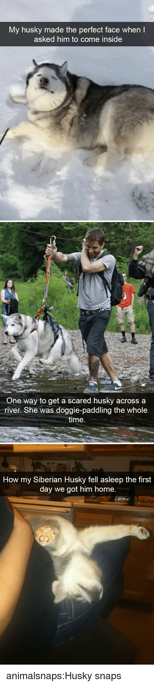 Paddling: My husky made the perfect face when  asked him to come inside   One way to get a scared husky acrossa  river. She was doggie-paddling the whole  time   How my Siberian Husky fell asleep the first  day we got him home.  r. animalsnaps:Husky snaps