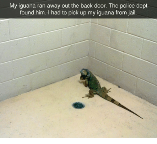 Jail, Police, and Back: My iguana ran away out the back door. The police dept  found him. I had to pick up my iguana from jail.