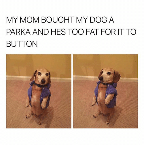 Memes, Fat, and Mom: MY MOM BOUGHT MY DOG A  PARKA AND HES TOO FAT FOR IT TO  BUTTON