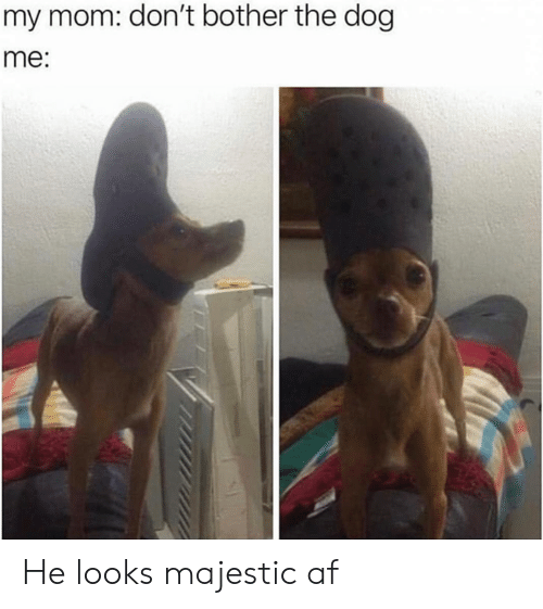 Af, Funny, and Tumblr: my mom: don't bother the dog  me: He looks majestic af