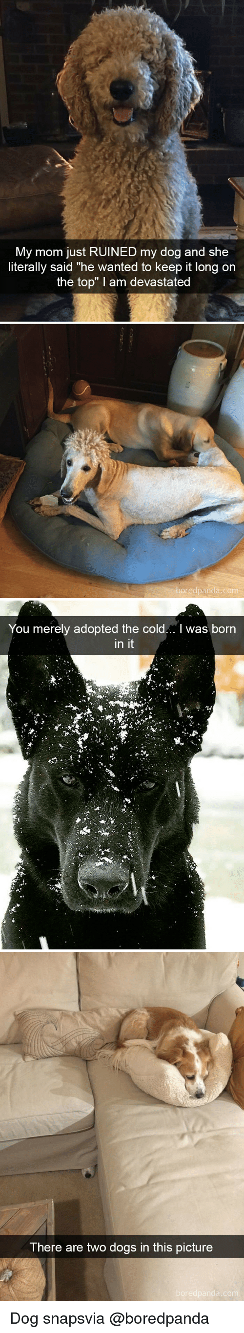"""Dogs, Cold, and Mom: My mom just RUINED my dog and she  literally said """"he wanted to keep it long on  the top"""" I am devastated  edpanda.co   You merely adopted the cold... I was born  in it   There are two dogs in this picture Dog snapsvia @boredpanda"""