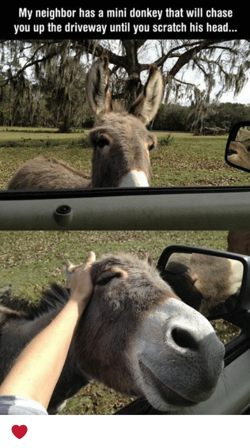 donkeys: My neighbor has a mini donkey that will chase  you up the driveway until you scratch his head... ❤️