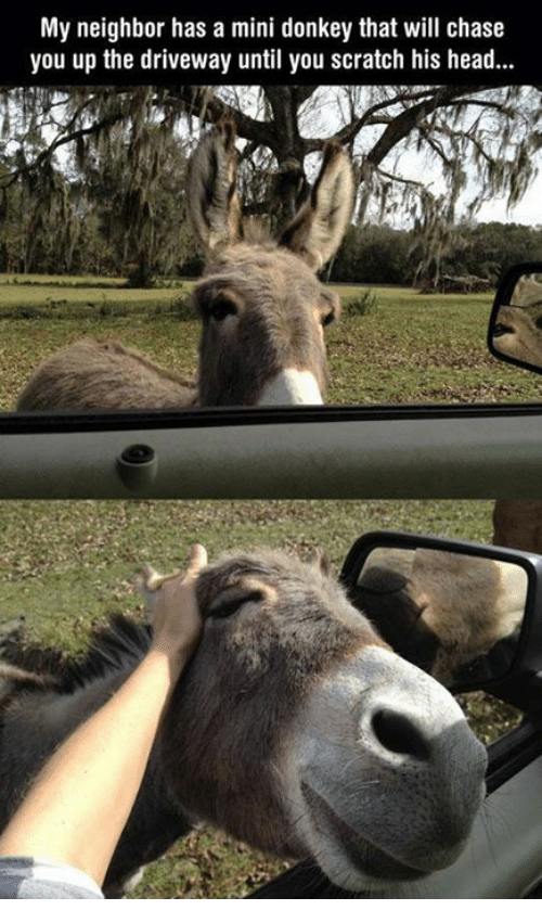 donkeys: My neighbor has a mini donkey that will chase  you up the driveway until you scratch his head...