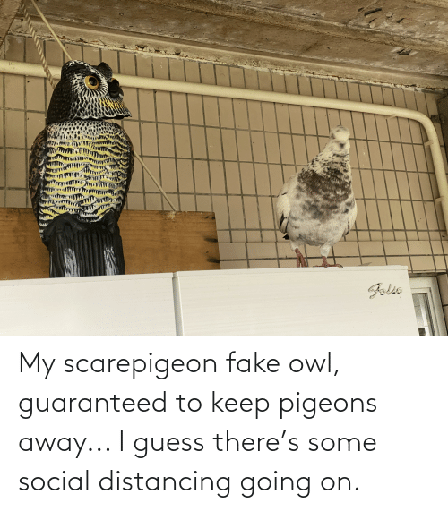 pigeons: My scarepigeon fake owl, guaranteed to keep pigeons away... I guess there's some social distancing going on.