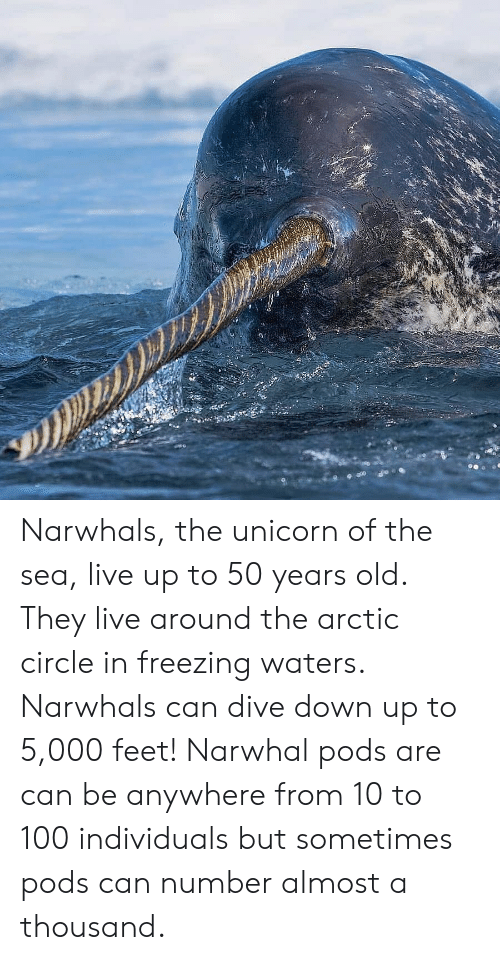 The Unicorn: Narwhals, the unicorn of the sea, live up to 50 years old. They live around the arctic circle in freezing waters. Narwhals can dive down up to 5,000 feet! Narwhal pods are can be anywhere from 10 to 100 individuals but sometimes pods can number almost a thousand.