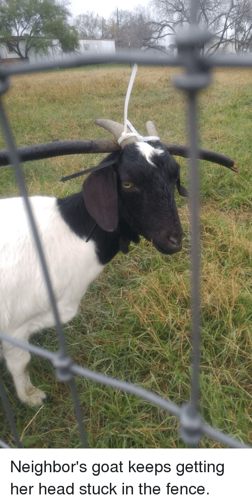Funny, Head, and Goat: Neighbor's goat keeps getting her head stuck in the fence.