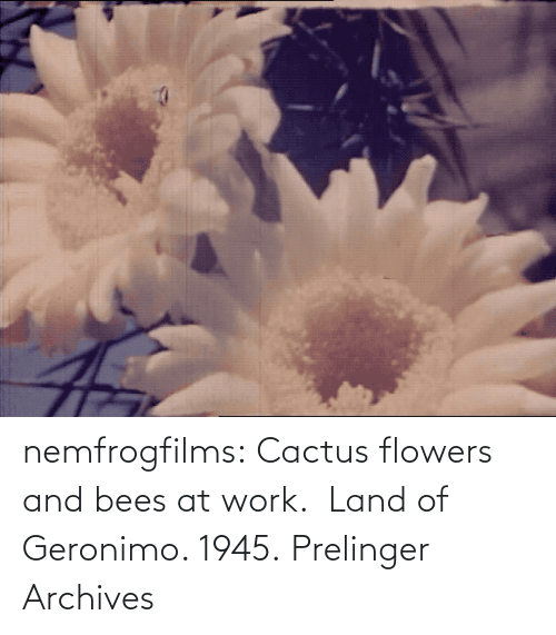 at-work: nemfrogfilms: Cactus flowers and bees at work.  Land of Geronimo. 1945. Prelinger Archives