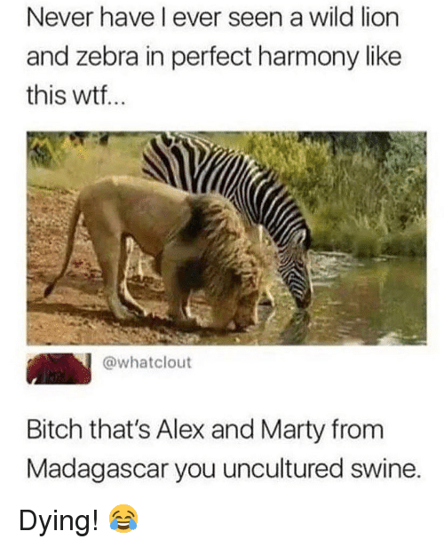 Bitch, Memes, and Wtf: Never have l ever seen a wild lion  and zebra in perfect harmony like  this wtf..  @whatclout  Bitch that's Alex and Marty from  Madagascar you uncultured swine. Dying! 😂
