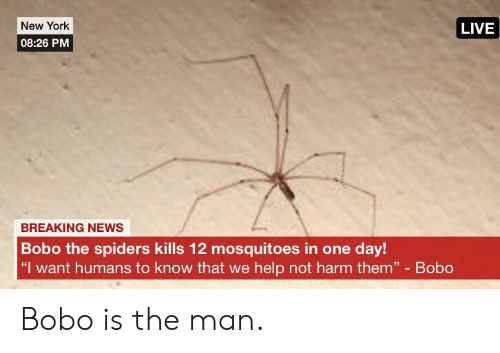 "Spiders: New York  LIVE  08:26 PM  BREAKING NEWS  Bobo the spiders kills 12 mosquitoes in one day!  ""I want humans to know that we help not harm them"" Bobo Bobo is the man."