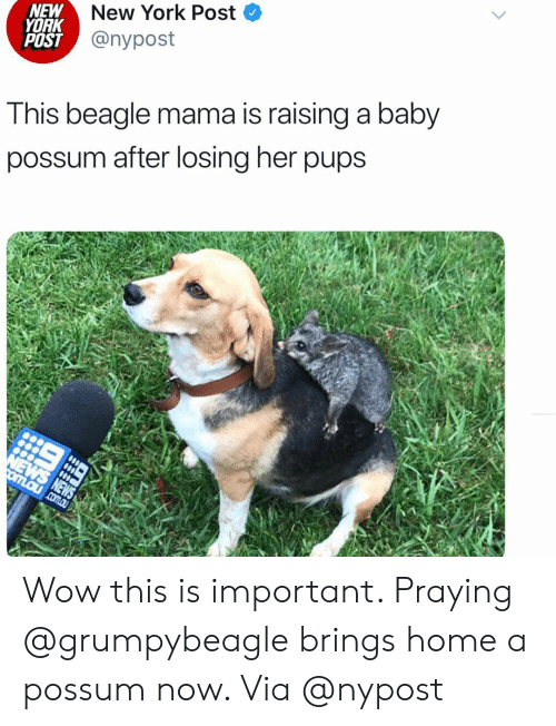 Possum: NEW  YORK  POST  New York Post <  @nypost  Tnis beagle mama is raising a baby  possum after losing her pups Wow this is important. Praying @grumpybeagle brings home a possum now. Via @nypost