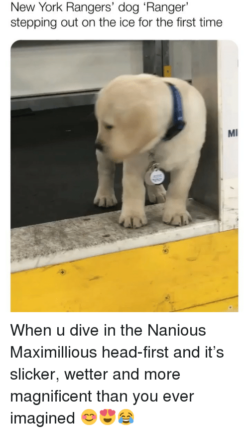 Head, Memes, and New York: New York Rangers' dog 'Ranger'  stepping out on the ice for the first time  MI When u dive in the Nanious Maximillious head-first and it's slicker, wetter and more magnificent than you ever imagined 😊😍😂