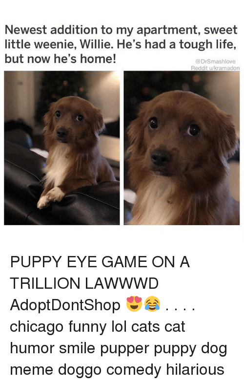 Cats, Chicago, and Funny: Newest addition to my apartment, sweet  little weenie, Willie. He's had a tough life,  but now he's home!  @DrSmashlove  Reddit u/kramadon PUPPY EYE GAME ON A TRILLION LAWWWD AdoptDontShop 😍😂 . . . . chicago funny lol cats cat humor smile pupper puppy dog meme doggo comedy hilarious