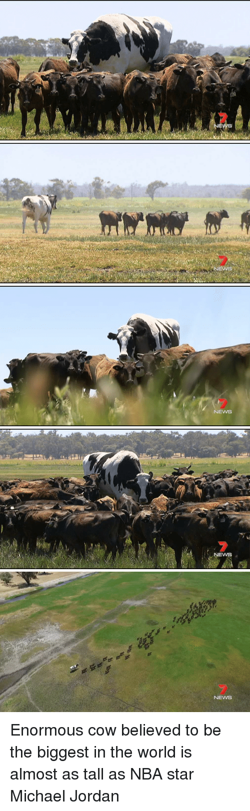 Michael Jordan, Nba, and News: NEWS   0  NEW   NEWSS Enormous cow believed to be the biggest in the world is almost as tall as NBA star Michael Jordan