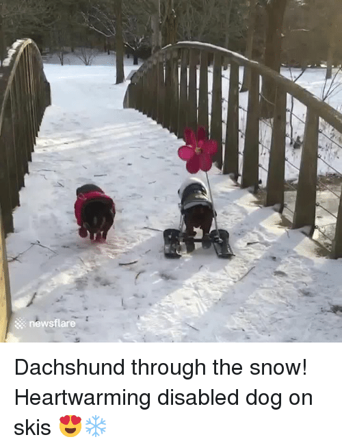skis: newsflare Dachshund through the snow! Heartwarming disabled dog on skis 😍❄️