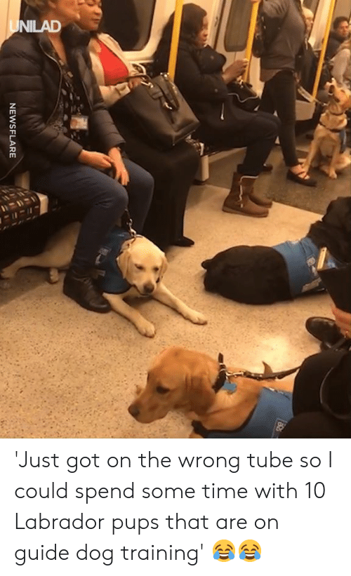 Dank, Time, and Tube: NEWSFLARE 'Just got on the wrong tube so I could spend some time with 10 Labrador pups that are on guide dog training' 😂😂