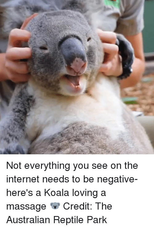 Internet, Massage, and Australian: Not everything you see on the internet needs to be negative- here's a Koala loving a massage 🐨  Credit: The Australian Reptile Park