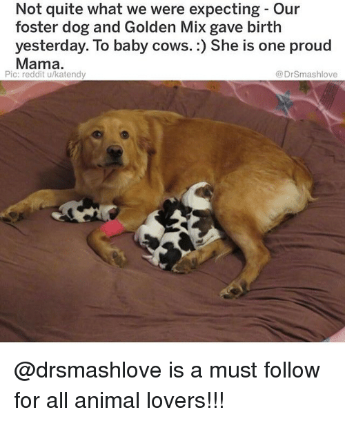 Memes, Reddit, and Animal: Not quite what we were expecting - Our  foster dog and Golden Mix gave birth  yesterday. To baby cows.:) She is one proud  Mama.  Pic: reddit u/katendy  @DrSmashlove @drsmashlove is a must follow for all animal lovers!!!