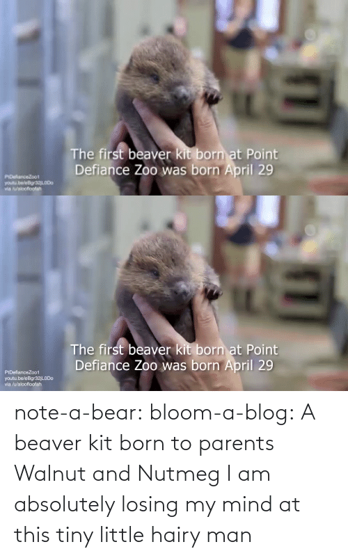 Imgur: note-a-bear: bloom-a-blog:  A beaver kit born to parents Walnut and Nutmeg   I am absolutely losing my mind at this tiny little hairy man