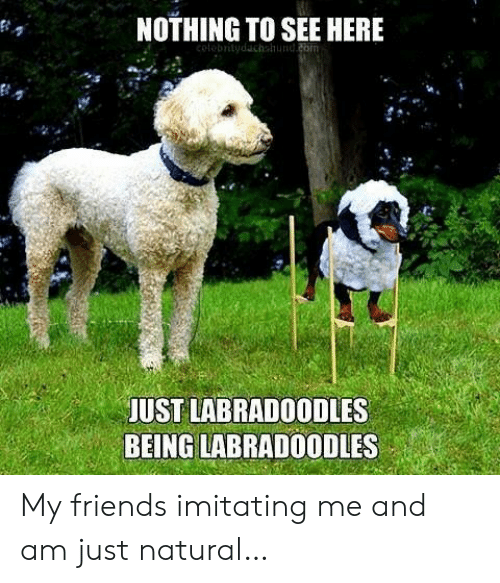 Friends, Com, and Nothing: NOTHING TO SEE HERE  colobritydachshund.com  JUST LABRADOODLES  BEING LABRADOODLES My friends imitating me and am just natural…