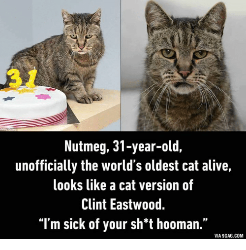 9gag, Alive, and Cats: Nutmeg, 31-year-old,  unofficially the world's oldest cat alive,  looks like a cat version of  Clint Eastwood.  I'm sick of your sh*t hooman.  VIA 9GAG.COM