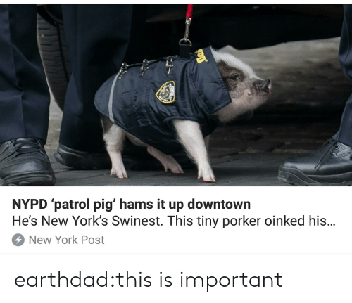 New York, New York Post, and Tumblr: NYPD patrol pig' hams it up downtowrn  He's New York's Swinest. This tiny porker oinked his...  New York Post earthdad:this is important