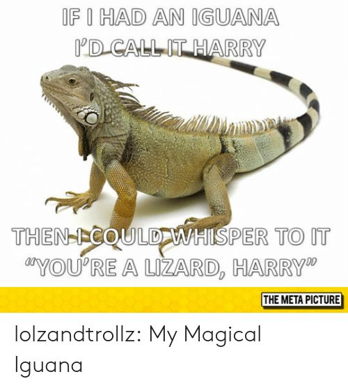 "Tumblr, Blog, and Com: OF I HAD AN IGUANA  D CALLIT HARRY  THEN-ICOULDWHISPER TO IT  YOU'RE A UZARD, HARRY""  THE META PICTURE lolzandtrollz:  My Magical Iguana"