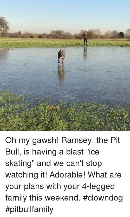 "Memes, Skate, and 🤖: Oh my gawsh! Ramsey, the Pit Bull, is having a blast ""ice skating"" and we can't stop watching it!  Adorable!  What are your plans with your 4-legged family this weekend.   #clowndog #pitbullfamily"