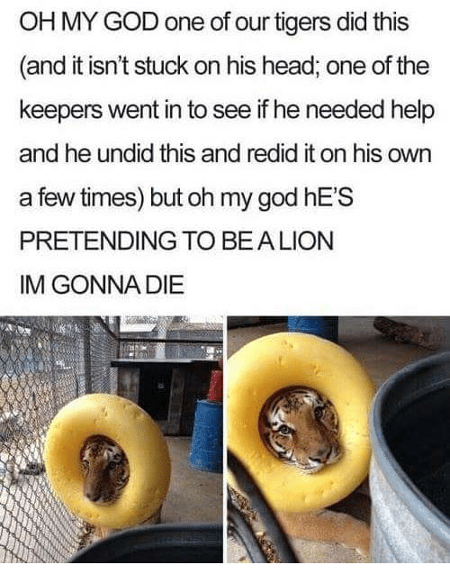 God, Head, and Oh My God: OH MY GOD one of our tigers did this  (and it isn't stuck on his head, one of the  keepers went in to see if he needed help  and he undid this and redid it on his own  a few times) but oh my god hES  PRETENDING TO BEALION  IM GONNA DIE