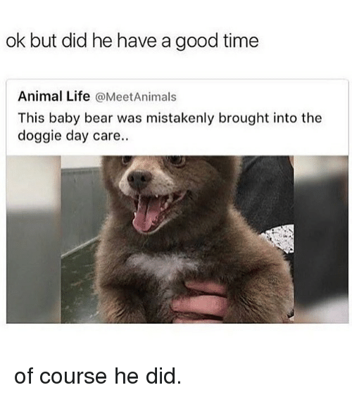 Funny, Life, and Animal: ok but did he have a good time  Animal Life @MeetAnimals  This baby bear was mistakenly brought into the  doggie day care. of course he did.