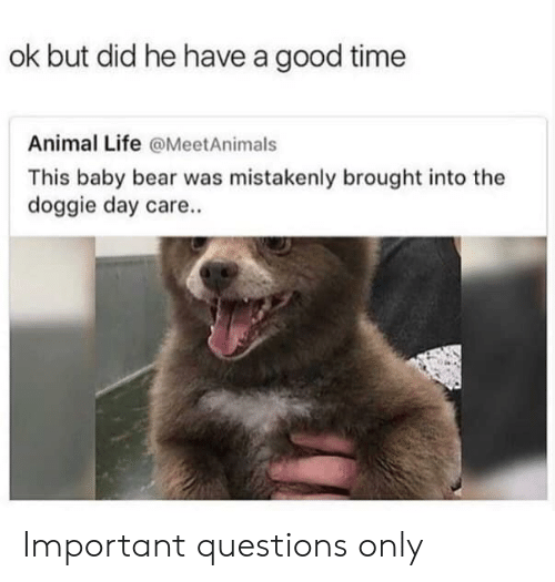 Life, Memes, and Animal: ok but did he have a good time  Animal Life @MeetAnimals  This baby bear was mistakenly brought into the  doggie day care.. Important questions only