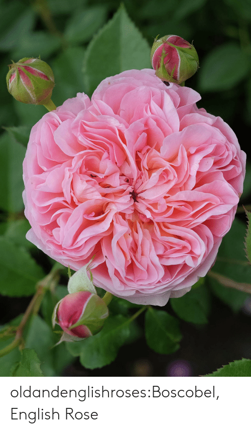 Tumblr, Blog, and Rose: oldandenglishroses:Boscobel, English Rose