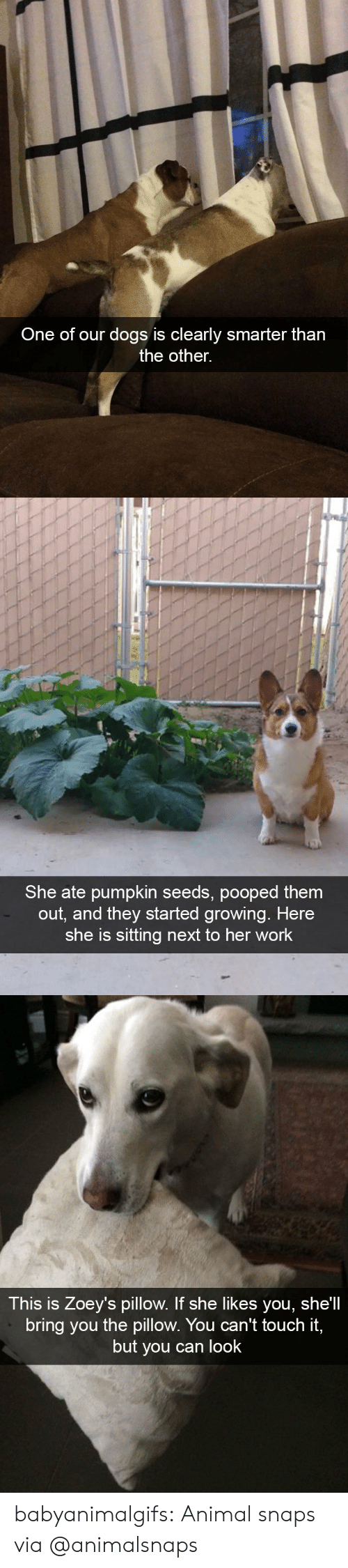 Shells: One of our dogs is clearly smarter tharn  the other.   She ate pumpkin seeds, pooped them  out, and they started growing. Here  she is sitting next to her work   This is Zoey's pillow. If she likes you, she'll  bring you the pillow. You can't touch it,  but you can look babyanimalgifs: Animal snaps via @animalsnaps