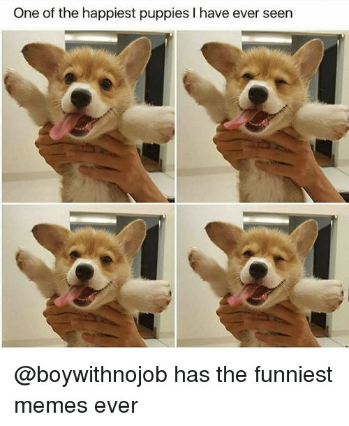 Funny, Memes, and Puppies: One of the happiest puppies I have ever seen @boywithnojob has the funniest memes ever