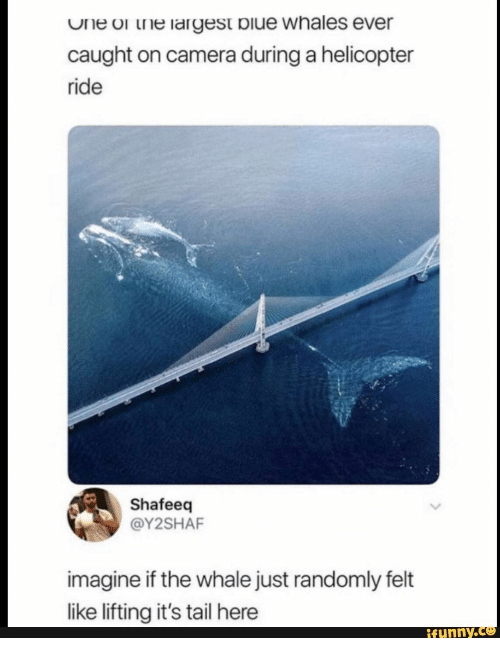 whale: One or the largest biue whales ever  caught on camera during a helicopter  ride  Shafeeq  @Y2SHAF  imagine if the whale just randomly felt  like lifting it's tail here  ifunny.c
