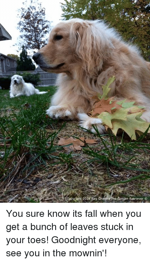Fall, Memes, and Golden Retriever: opydght 2016 Bay Charles he Golden Retriever You sure know its fall when you get a bunch of leaves stuck in your toes! Goodnight everyone, see you in the mownin'!