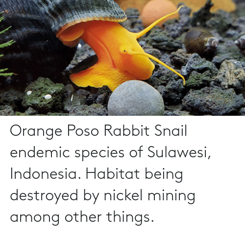 Indonesia: Orange Poso Rabbit Snail endemic species of Sulawesi, Indonesia. Habitat being destroyed by nickel mining among other things.