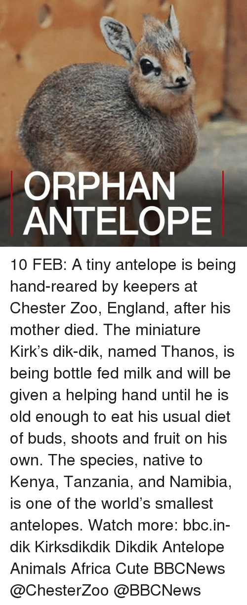 Memes, Thanos, and 🤖: ORPHAN  ANTELOPE 10 FEB: A tiny antelope is being hand-reared by keepers at Chester Zoo, England, after his mother died. The miniature Kirk's dik-dik, named Thanos, is being bottle fed milk and will be given a helping hand until he is old enough to eat his usual diet of buds, shoots and fruit on his own. The species, native to Kenya, Tanzania, and Namibia, is one of the world's smallest antelopes. Watch more: bbc.in-dik Kirksdikdik Dikdik Antelope Animals Africa Cute BBCNews @ChesterZoo @BBCNews