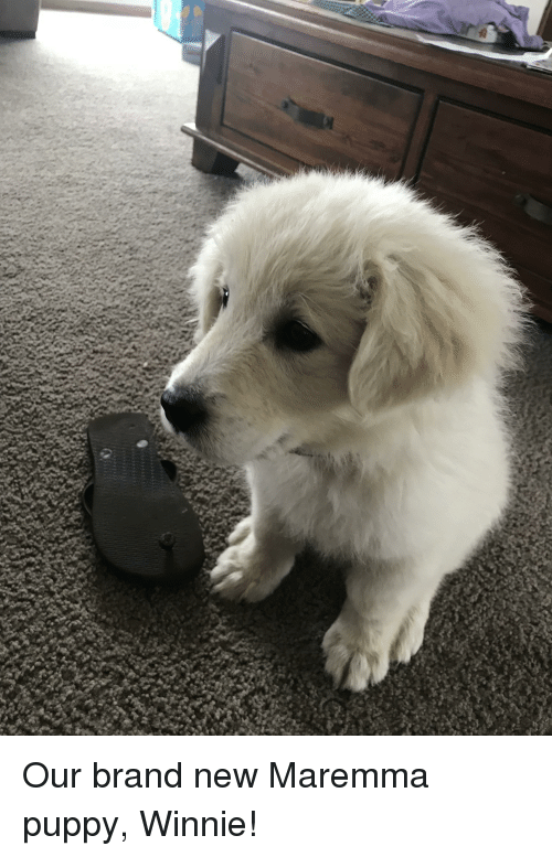 Puppy, Pup, and Brand New: Our brand new Maremma puppy, Winnie!