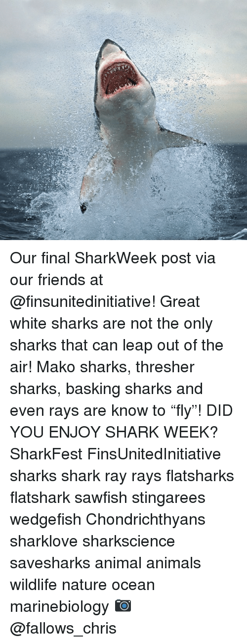 "Animals, Friends, and Memes: Our final SharkWeek post via our friends at @finsunitedinitiative! Great white sharks are not the only sharks that can leap out of the air! Mako sharks, thresher sharks, basking sharks and even rays are know to ""fly""! DID YOU ENJOY SHARK WEEK? SharkFest FinsUnitedInitiative sharks shark ray rays flatsharks flatshark sawfish stingarees wedgefish Chondrichthyans sharklove sharkscience savesharks animal animals wildlife nature ocean marinebiology 📷 @fallows_chris"
