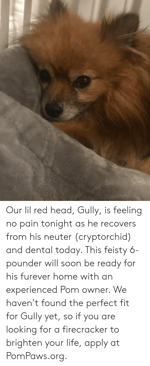 Head, Life, and Memes: Our lil red head, Gully, is feeling no pain tonight as he recovers from his neuter (cryptorchid) and dental today. This feisty 6-pounder will soon be ready for his furever home with an experienced Pom owner. We haven't found the perfect fit for Gully yet, so if you are looking for a firecracker to brighten your life, apply at PomPaws.org.