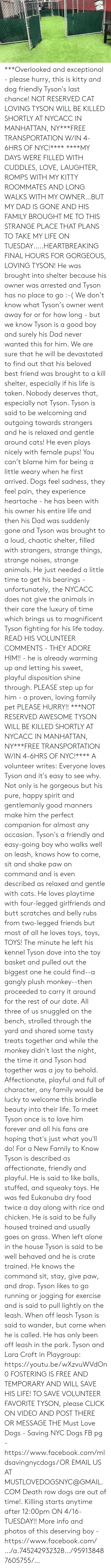 Being Alone, Animals, and Best Friend: ***Overlooked and exceptional - please hurry, this is kitty and dog friendly Tyson's last chance! NOT RESERVED CAT LOVING TYSON WILL BE KILLED SHORTLY AT NYCACC IN MANHATTAN, NY***FREE TRANSPORTATION W/IN 4-6HRS OF NYC!****  ****MY DAYS WERE FILLED WITH CUDDLES, LOVE, LAUGHTER, ROMPS WITH MY KITTY ROOMMATES AND LONG WALKS WITH MY OWNER…BUT MY DAD IS GONE AND HIS FAMILY BROUGHT ME TO THIS STRANGE PLACE THAT PLANS TO TAKE MY LIFE ON TUESDAY…..HEARTBREAKING FINAL HOURS FOR GORGEOUS, LOVING TYSON! He was brought into shelter because his owner was arrested and Tyson has no place to go :-( We don't know what Tyson's owner went away for or for how long - but we know Tyson is a good boy and surely his Dad never wanted this for him. We are sure that he will be devastated to find out that his beloved best friend was brought to a kill shelter, especially if his life is taken. Nobody deserves that, especially not Tyson. Tyson is said to be welcoming and outgoing towards strangers and he is relaxed and gentle around cats! He even plays nicely with female pups! You can't blame him for being a little weary when he first arrived. Dogs feel sadness, they feel pain, they experience heartache - he has been with his owner his entire life and then his Dad was suddenly gone and Tyson was brought to a loud, chaotic shelter, filled with strangers, strange things, strange noises, strange animals. He just needed a little time to get his bearings - unfortunately, the NYCACC does not give the animals in their care the luxury of time which brings us to magnificent Tyson fighting for his life today. READ HIS VOLUNTEER COMMENTS - THEY ADORE HIM!! - he is already warming up and letting his sweet, playful disposition shine through. PLEASE step up for him - a proven, loving family pet PLEASE HURRY!! ***NOT RESERVED AWESOME TYSON WILL BE KILLED SHORTLY AT NYCACC IN MANHATTAN, NY***FREE TRANSPORTATION W/IN 4-6HRS OF NYC!****  A volunteer writes: Everyone loves Ty