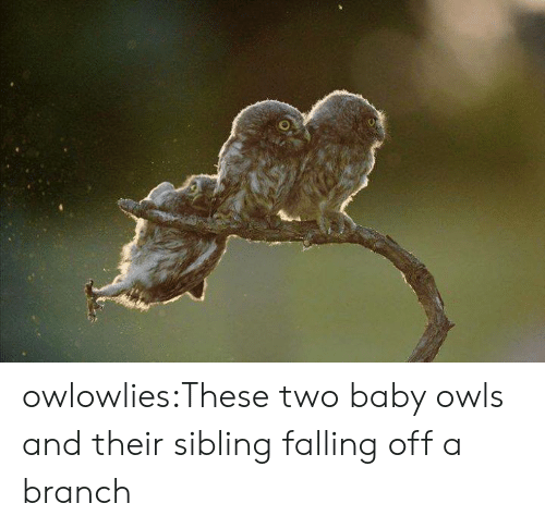 Tumblr, Blog, and Baby: owlowlies:These two baby owls and their sibling falling off a branch