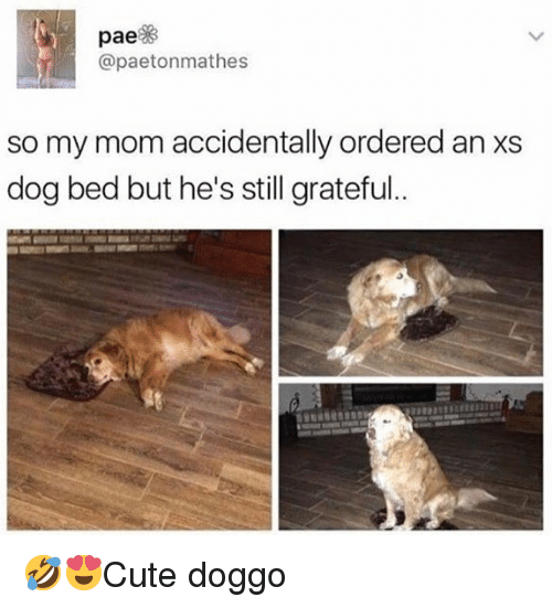 Memes, Mom, and 🤖: pae%  @paetonmathes  so my mom accidentally ordered an XS  dog bed but he's still grateful  gを 🤣😍Cute doggo