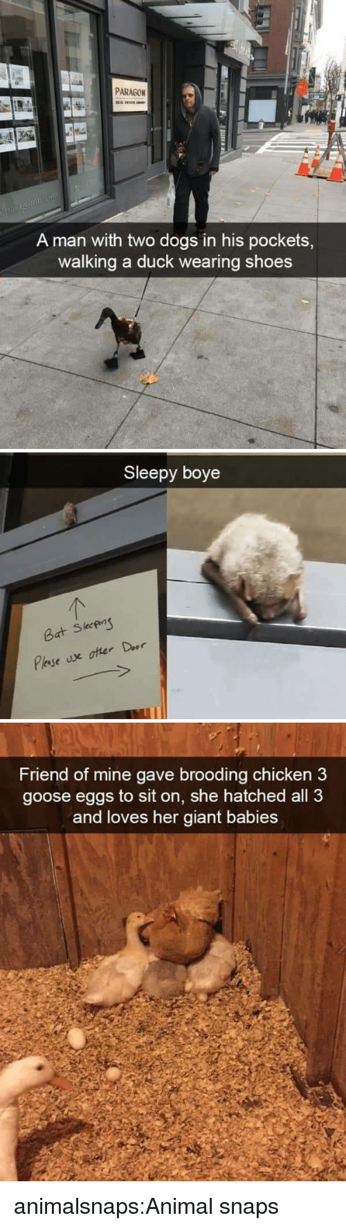 Dogs, Shoes, and Target: PARAGON  A man with two dogs in his pockets,  walking a duck wearing shoes   Sleepy boye  leeP  Bat S   Friend of mine gave brooding chicken3  goose eggs to sit on, she hatched all 3  and loves her giant babies animalsnaps:Animal snaps