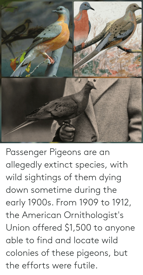 pigeons: Passenger Pigeons are an allegedly extinct species, with wild sightings of them dying down sometime during the early 1900s. From 1909 to 1912, the American Ornithologist's Union offered $1,500 to anyone able to find and locate wild colonies of these pigeons, but the efforts were futile.