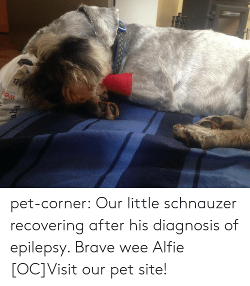 Schnauzer: pet-corner:  Our little schnauzer recovering after his diagnosis of epilepsy. Brave wee Alfie [OC]Visit our pet site!